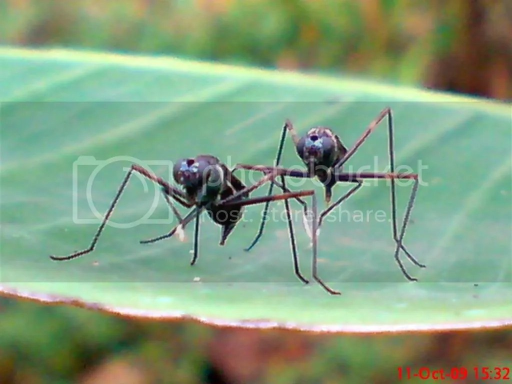 serangga kawin dan kawin 02