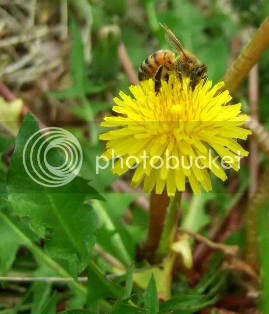 wasp on dandelion st l 230409 fuji