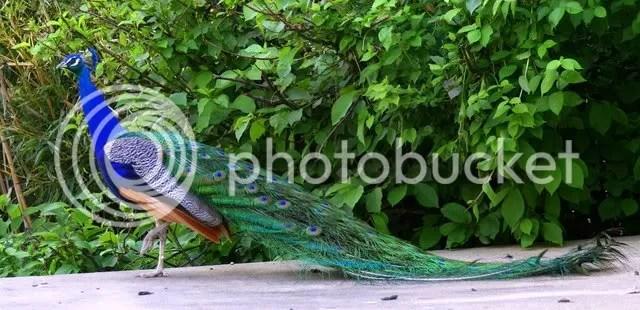 peacock grant's farm 240509