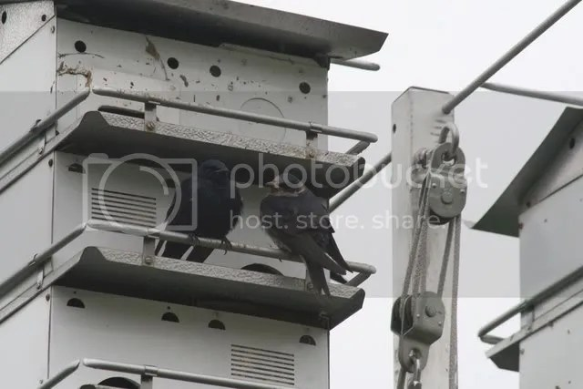 purple martins 280409