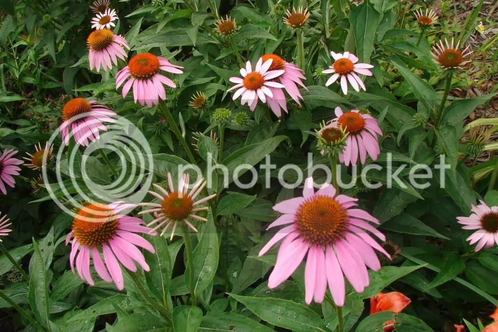 Cone Flowers in Gardeb
