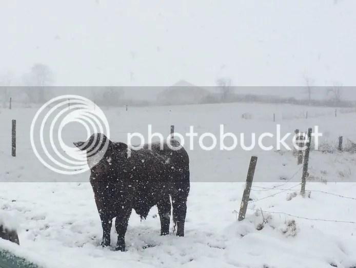 Santa Gertrudis steer - 2 years old (almost)(Anna)