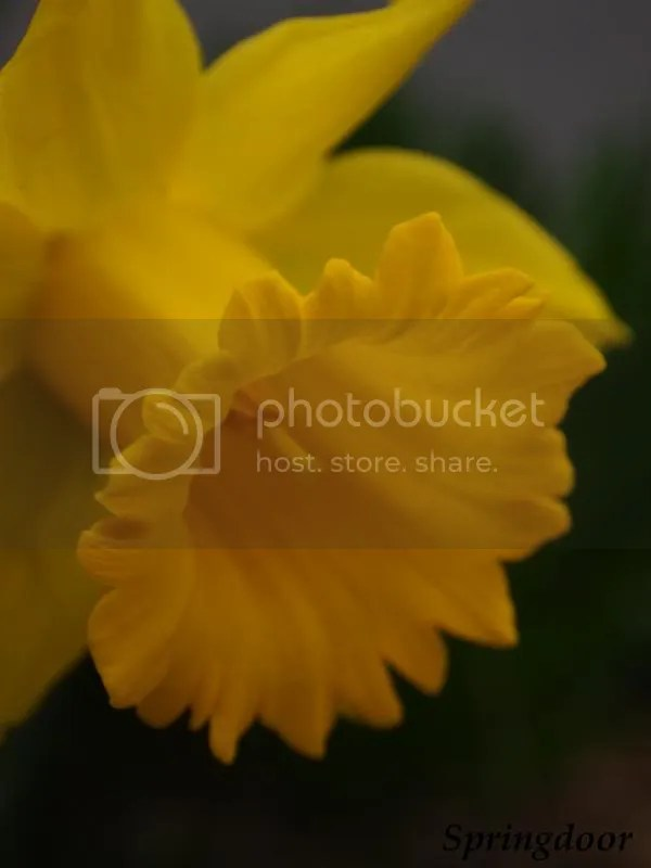 photo daffodil2013_zps625a7cb3.jpg