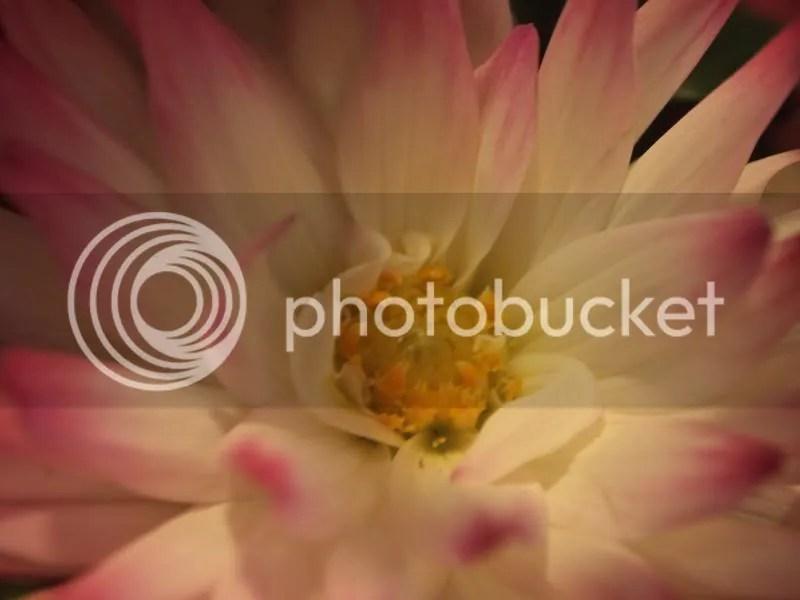 photo dhalia2_zps25cc8313.jpg