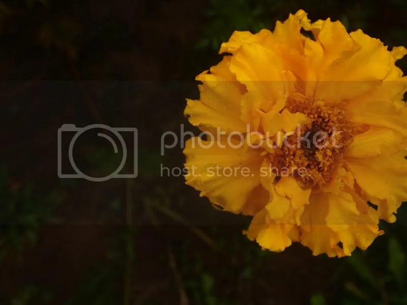 photo marigold_fall2013_zps17d7fd62.jpg