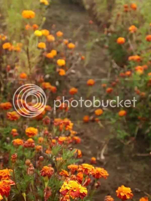 photo marigolds_fall2013_zps0532ae29.jpg