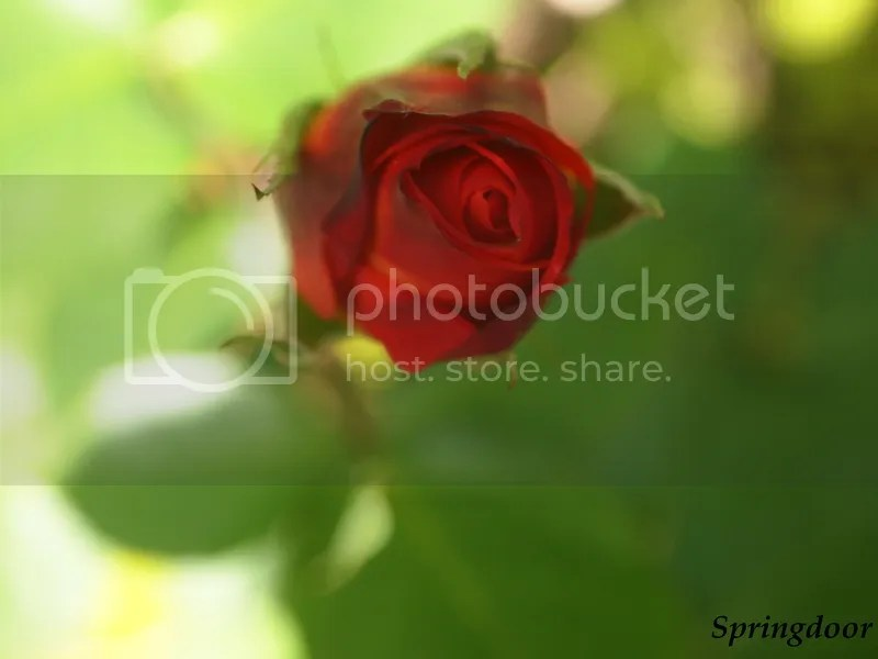 photo red rosebud_zpswpdmqxdv.jpg
