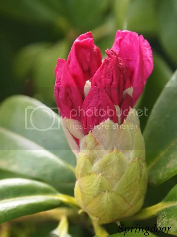photo rhodedendroncloseup_2014_zps0ad76a80.jpg