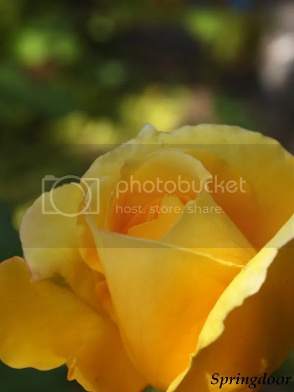 photo yellow rose2015_zps7kivg1ev.jpg