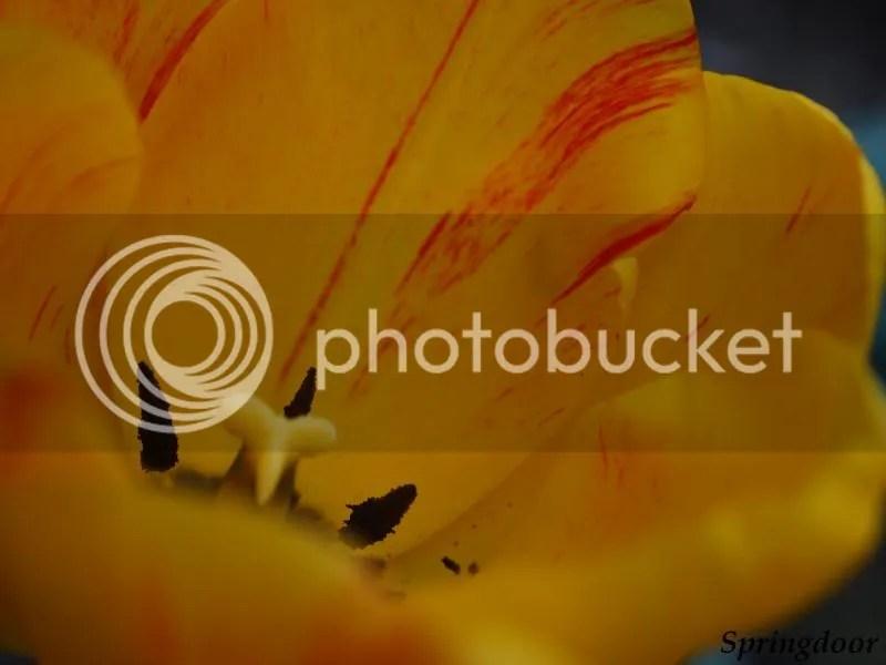 photo yellowtulip_zps4f0b5da2.jpg