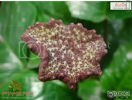ตับเป็ด, เรดาร์ตับเป็ด, Dorstenia elata, ต้นไม้, ดอกไม้, ไม้หายาก, aKitia.Com