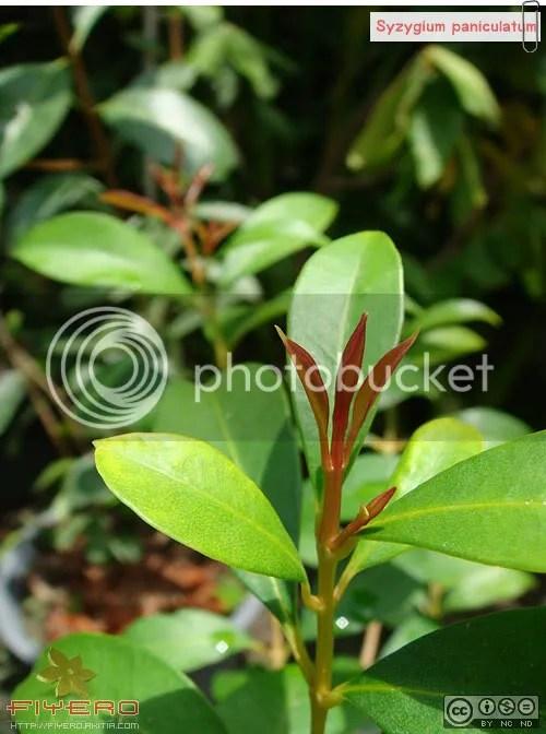 Syzygium paniculatum, ไม้ใบ, ชมพู่แคระ, ชมพู่, ไม้ดอกหอม, ไม้ทำรั้ว, ต้นไม้, ดอกไม้