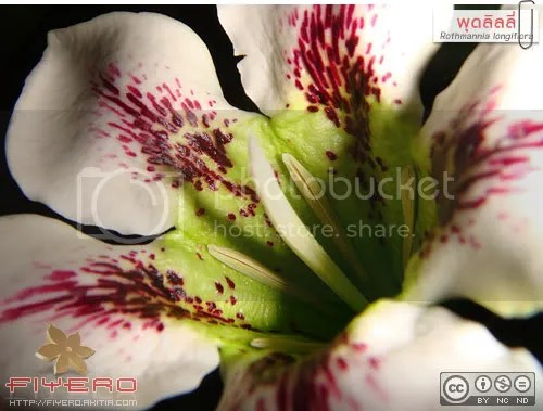 พุดลิลลี่, Rothmannia longiflora, ต้นไม้, ดอกไม้, ไม้หายาก, ไม้ดอกหอม, aKitia.Com