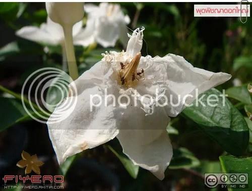พุดพิชญา, พุดพิชญาดอกใหญ่, พุดพิชญาสายพันธุ์ใหม่, ต้นไม้, ดอกไม้, aKitia.Com