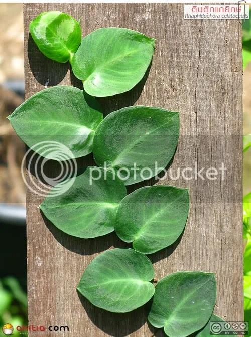 ตีนตุ๊กแกยักษ์, Rhaphidophora celatocaulis, Shingle Plant, ไม้ใบ, พลู, ไม้เลื้อย, เกาะกำแพง, ต้นไม้, ดอกไม้, aKitia.Com