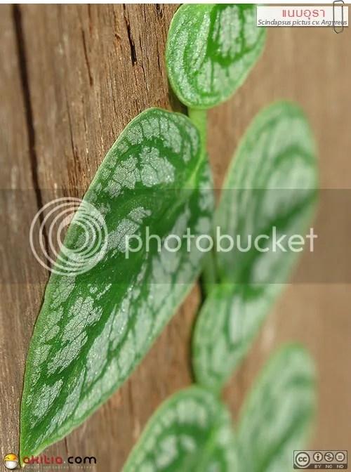 แนบอุรา, หัวใจแนบ, Scindapsus pictus cv. Argyreus, ไม้ใบ, พลู, ไม้เลื้อย, เกาะกำแพง, Satin Pothos, Silk Pothos, Silver Philodendron, ต้นไม้, ดอกไม้, aKitia.Com