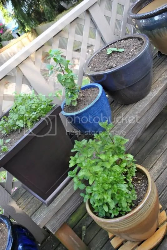 Mint and parsley growing in a container