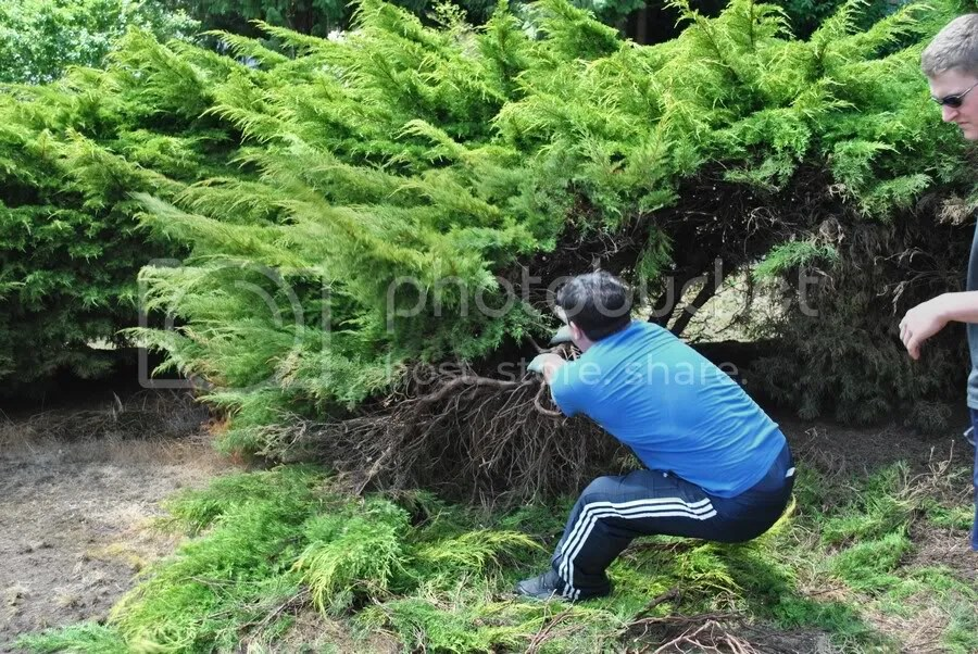 pulling out juniper branches