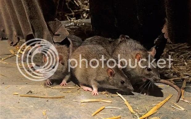 photo Rats 1_zps3r2ohjjz.jpg