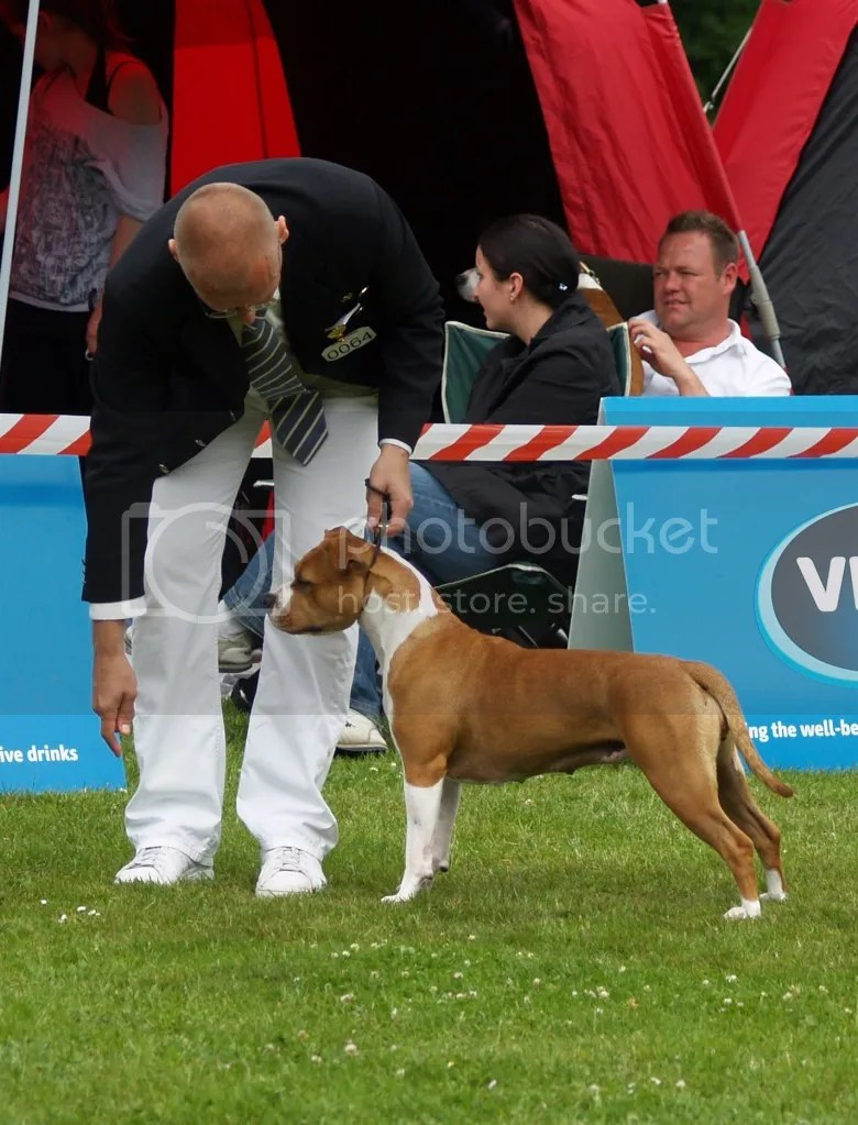 World Amstaff Specialty Show 2010 Denmark