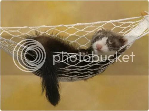 Lazy Ferret