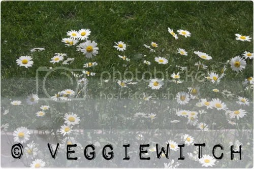 Daisies outside my window