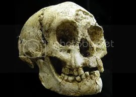 This is the skull of LB1. It is only the size of a grapefruit. Image: Peter Brown