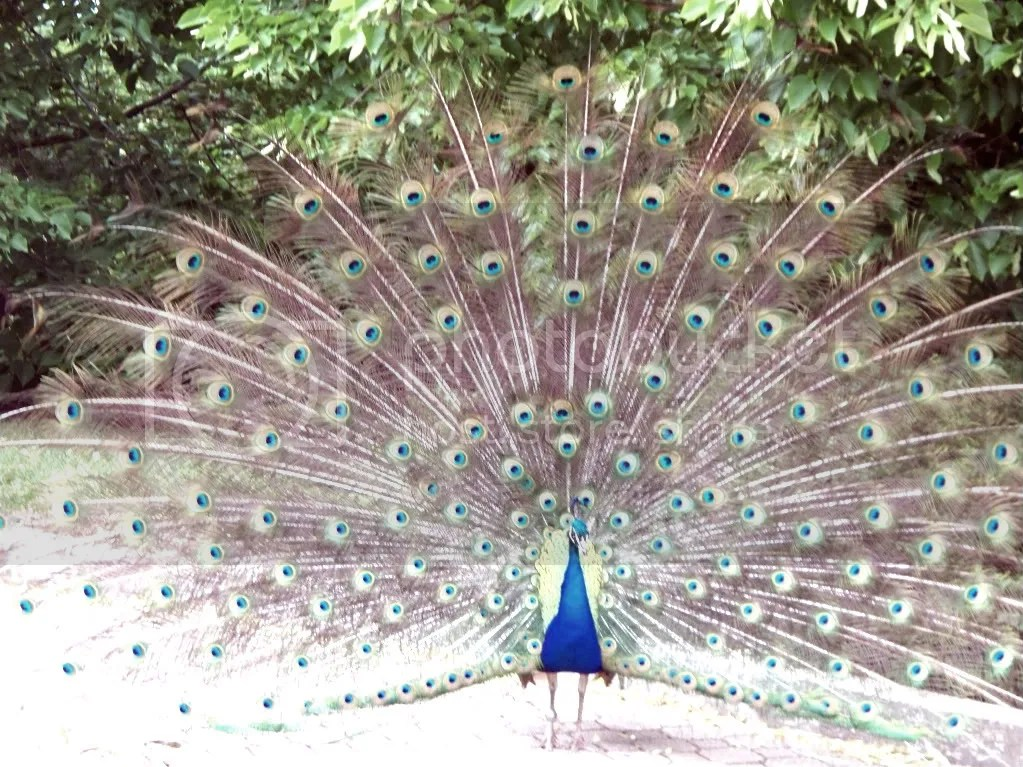 mr. peacock struttin his stuff