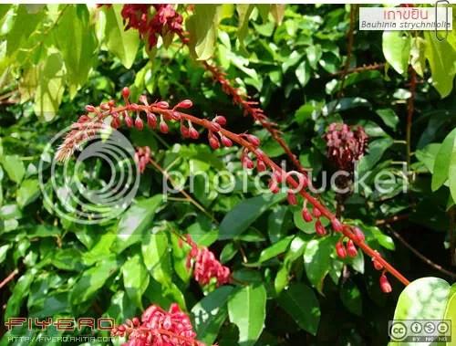 เถาขยัน, ย่านางแดง, Bauhinia strychnifolia, ขยัน, หญ้านางแดง, ยานางแดง, ขยาน, สยาน, เครือขยัน, ชงโคเลื้อย, ไม้เลื้อย, ดอกสีแดง, ไม้ถิ่นเดียว, สมุนไพร, ต้นไม้หายาก, ไม้หายาก, ต้นไม้, ดอกไม้, aKitia.Com