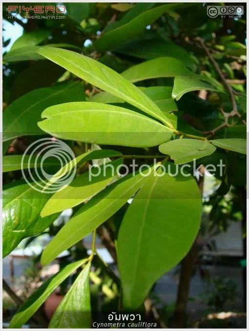 อัมพวา, ต้นอัมพวา, มะเปรียง, ลูกอัมพวา, ลูกคางคก, ผลไม้โบราณ, ต้นไม้หายาก, Cynometra cauliflora, Amphawa, นัมนัม, บูรานัม, นางอาย, ต้นไม้, ดอกไม้, aKitia.Com