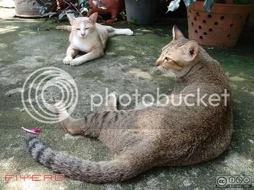 แมว, น้องเสือ, น้องหมอก, aKitia.Com
