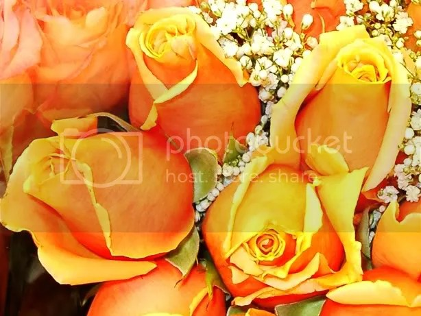 orange rose Pictures, Images and Photos