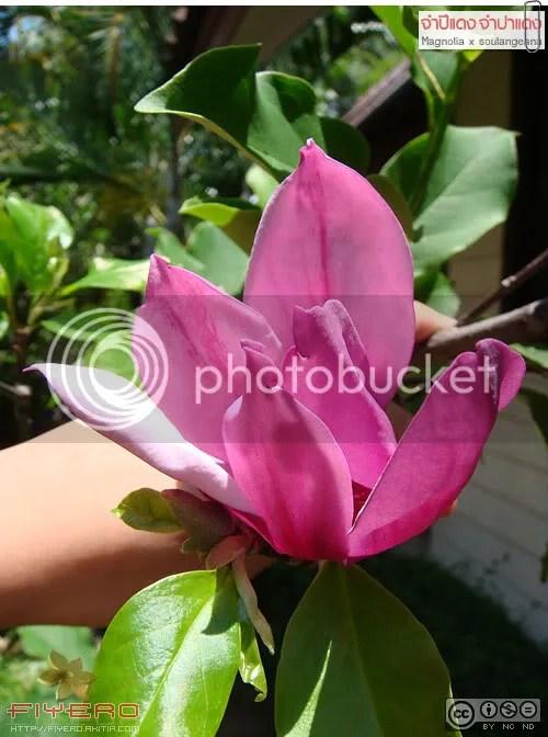 จำปีแดง, จำปาแดง, Magnolia x soulangeana, Magnolia liliiflora, แมกโนเลีย, จำปีต่างประเทศ, Magnolia hybrid, แมกโนเลียลูกผสม, ต้นไม้, ดอกไม้