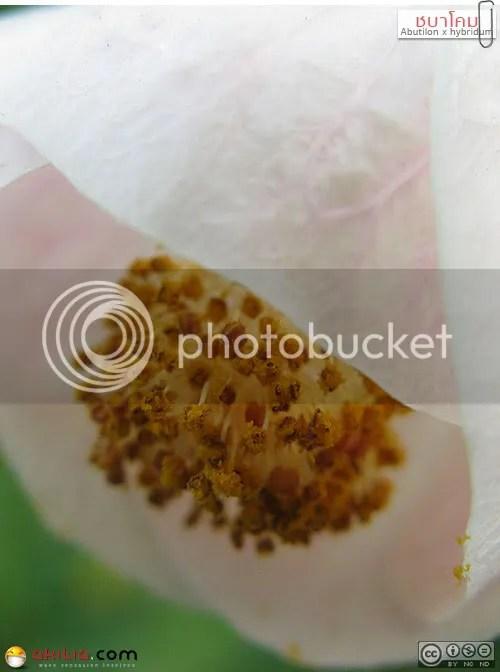 ชบาโคม, Abutilon, Abutilon × hybridum, ไม้พุ่ม, Flowering Maple, Malvaceae, 檾麻屬, ไม้เมืองหนาว, ต้นไม้, ดอกไม้, akitia.com