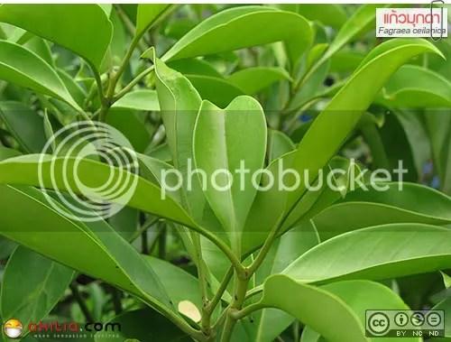 แก้วมุกดา, โกงกางเขา, Fagraea ceilanica, นางสวรรค์, โพดา, เทียนฤๅษี, นิ้วนาง, ต้นไม้, ดอกไม้, akitia.com