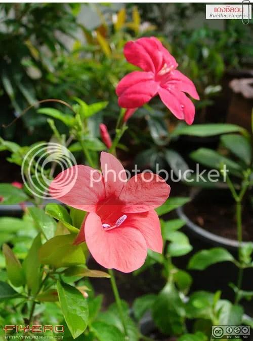 แดงซีลอน, ต้อยติ่งแดง, ต้อยติ่ง, Ruellia elegans, ไม้ล้มลุก, ไม้คลุมดิน, ดอกสีแดง, Red Ruellia, Brazilian petunia, ต้นไม้, ดอกไม้, akitia.com