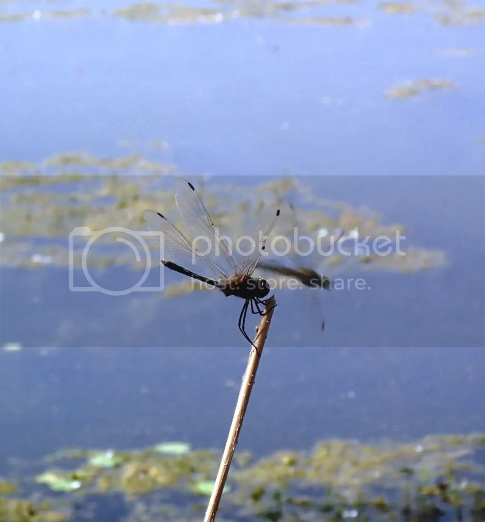 photo Dragonfly at Sultanpur_zpsm5eqzaog.jpg