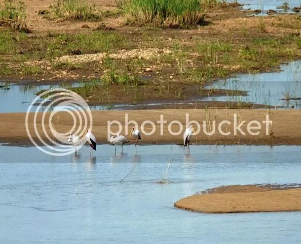 photo AfricanspoonbillsandyellowbilledstorkbridgenearShingwedze_zps126fd771.jpg