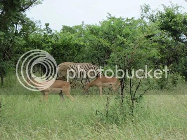 photo Burchells_zebra_near_Pretoriuskop_Mar2014_zps5d9f11dc.jpg