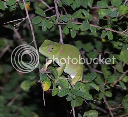 photo Chameleon_zps70f95042.jpg