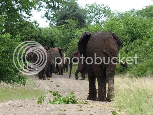 photo Following_elephants_zps80d73eea.jpg