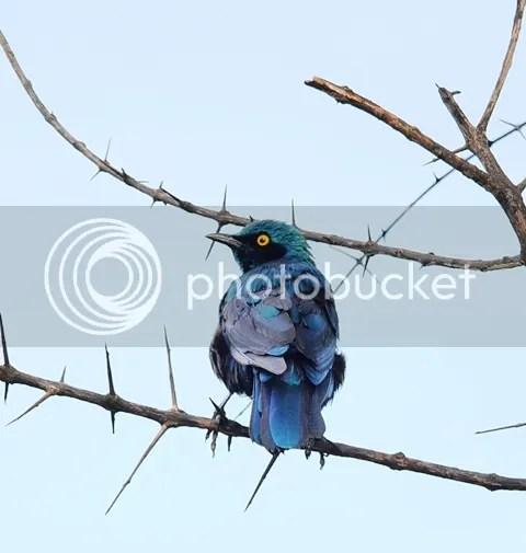 photo Greater_blue_eared_glossy_starling_zpsf2ebe1b5.jpg