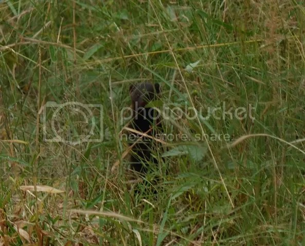 photo Part3_Eastern_dwarf_mongoose_zps088d4f22.jpg