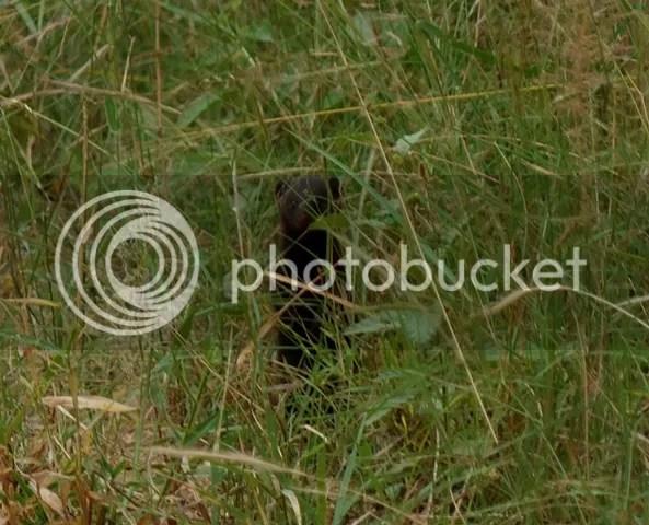 photo Part3_Eastern_dwarf_mongoose_zps088d4f22.jpg