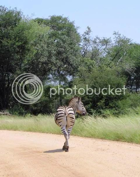 photo Part3_Zebra_missing_tail_zps0363c5ac.jpg