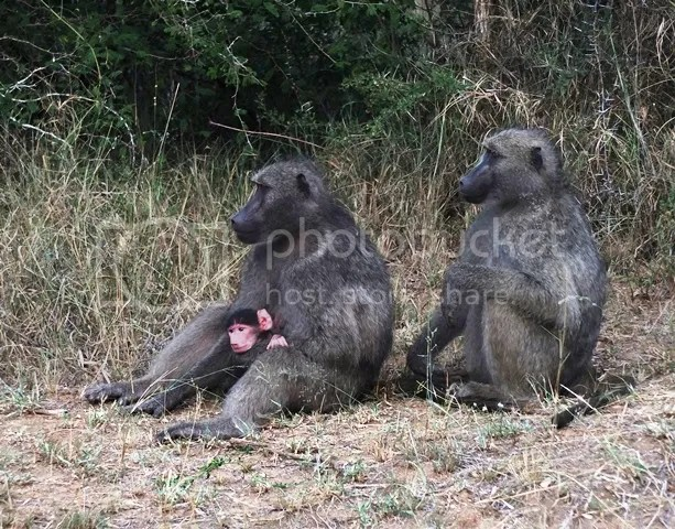 photo Part4_Baboons_with_baby_zps72eb373a.jpg