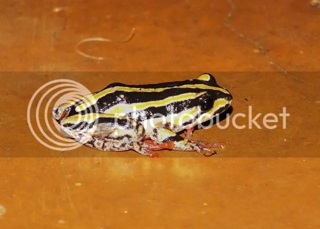 photo Part5_FrogwhilebraaingatSkukuza_zps47bb12bb.jpg