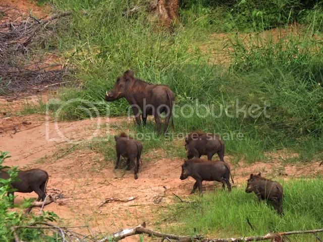 photo Warthogs_near_Parfuri_Feb2014_zps918ff306.jpg