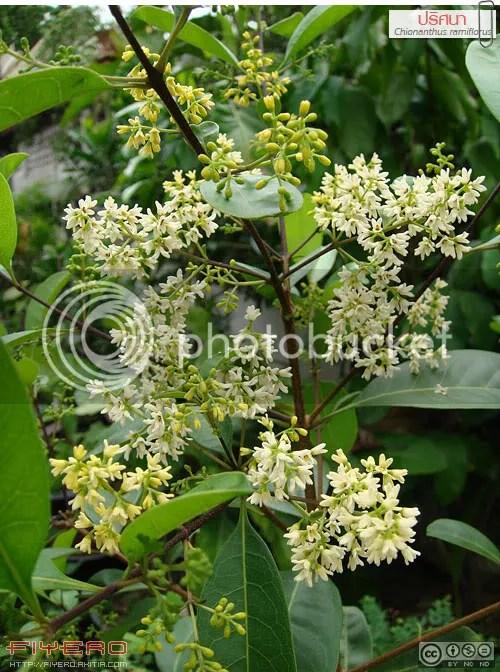 ปริศนา, ต้นปริศนา, อวบดำ, Chionanthus ramiflorus, Linociera ramiflora, OLEACEAE, ไม้ดอกหอม, ดอกสีขาว, วงศ์มะลิ, ไม้หายาก, native olive, ต้นไม้, ดอกไม้, akitia.com