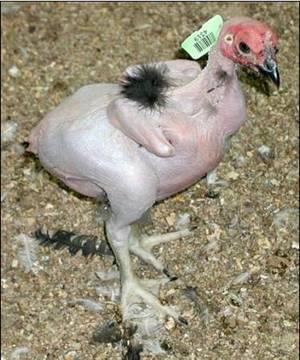KFC Yaratığı